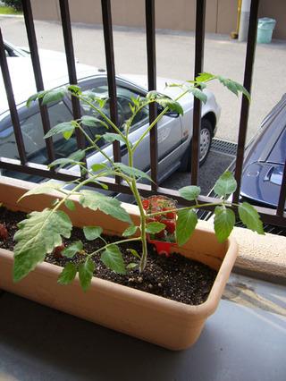 Tomato20080707