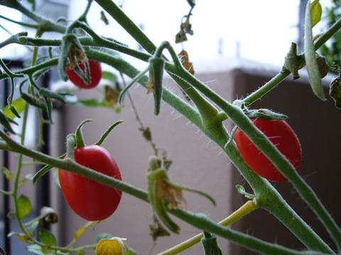 Tomato20080918