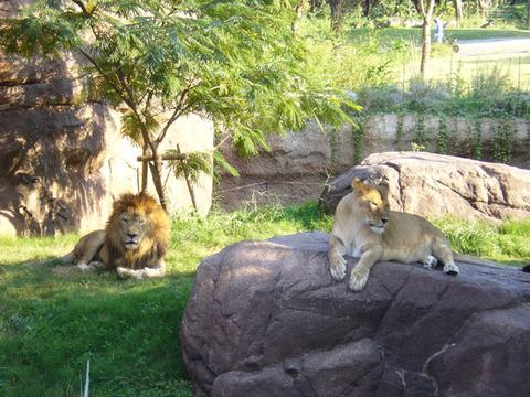 Lion220081018