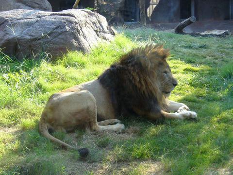 Lion320081018