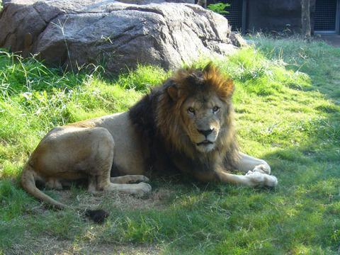 Lion420081018