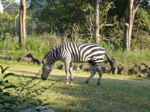 Zebra20081018
