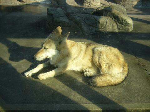 Wolf120081018