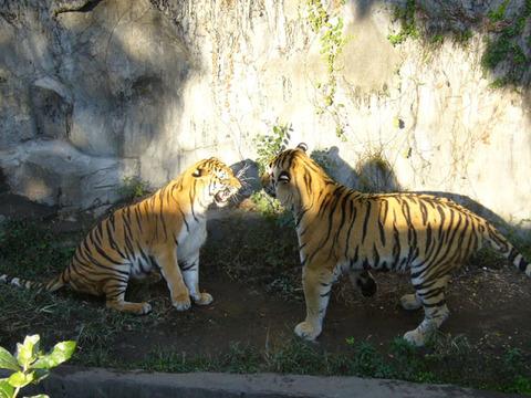 Tiger220081018