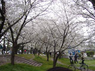Sakura120070408